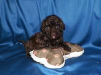 Clancy is a cute chocolate Havanese/Poodle born