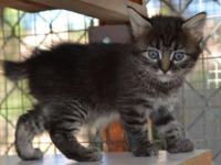 Polydactyl Hemingway Manx Female Kittens. Naturally
