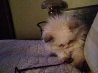 Beautiful Himalayan purebred kittens! friendly, social,