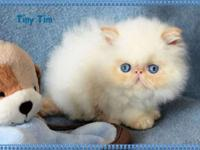 "OUR FLAME POINT HIMALAYAN ""TINY TIM"" IS AVAILABLE FOR"