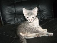 {{ SPRING HILL }} Female kitten, 10-12 weeks old. Very