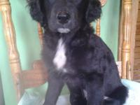 2 puppies left due to a no show! One beautiful black