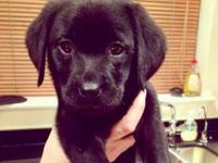 Beautiful * Labrador Retriever young puppies! - only 2
