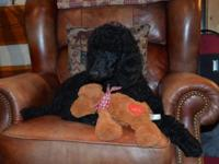 Lovely dark black standard poodle puppy available.