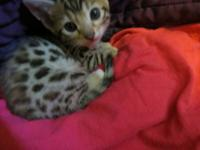 Beautiful Leopard spotted Bengal kittens, ready to go