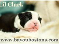 Lil Clark is a gorgeous baby Boston Terrier. He was