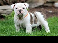 Animal Type: Dogs Breed: Bulldog Gorgeous Litter Of
