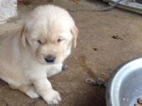 5 Gorgeous little ladies AKC Golden Retriever Puppies.