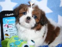 Lovely little red. white male Shih Tzu born May 21,