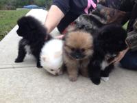 These are some of the cutest pure bread Pomeranian