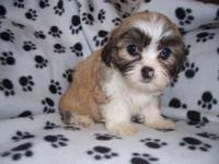 I have a trash of Shih Zhu/Bichon mix puppies. Teddy