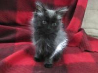 Stunning long haired male kitten 8.5 weeks old. Very