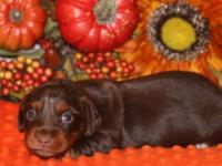Sweet longhair chocolate/tan miniature dachshund.