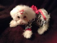 Such a doll tiny Maltipoo grabs attention wherever she
