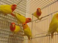 I have a group of 10 Peach face Lutino lovebirds for
