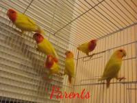 I have actually 5 parent raised lutino lovebirds