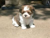10 week old Biewers Morkie puppy. Lovingly home raised