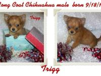 Gorgeous quality long coat CKC Chihuahua pups born Sept