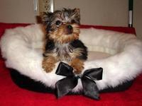 Playful Male and female Yorkshire Terrier puppies for
