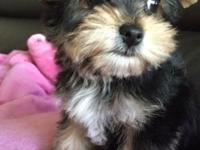 Gorgeous male and female yorkie puppies for new homes,