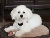 Male Purebred Bichon Frise for sale. He is 32 weeks old