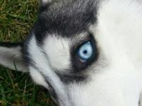 Nova is a 7 month old purebred siberian husky. He is a