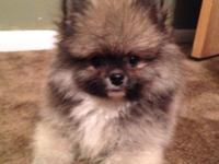 I have a stunning Pomeranian boy available to a pet