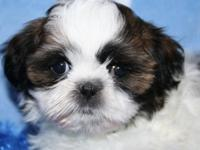 Beautiful little brindle/white male Shih Tzu born May