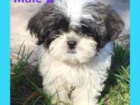 Two gorgeous male Shih Tzu puppies born 8/26/15; CKC