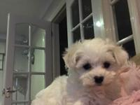 Stunning Maltese Puppies for Sale  .. Contact via text