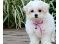 Born to Maltese Mum and Maltese Dad with great pedigree
