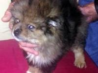 I have one adorable Pom-tese puppy available to a great