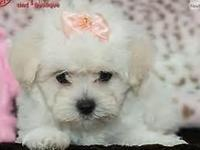 Adorable soft and fluffy 9 weeks old MALTIPOO PUPPIES.