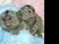 Lovely Marmoset monkeys for adoption. We now have two