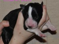 We have 3 beautiful Border collie pups from Kate and