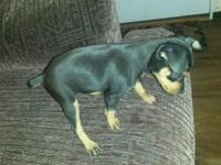 . CKC registered miniature pinscher ... there are 4