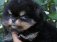 I am selling a tcup purebred pomeranian puppy girl.