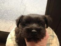 Remarkable black male Mini Schnauzer. Last puppy of our