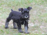 AKC Registered Mini-Schnauzer puppies, born 4-15-2015,