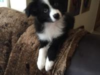 Gorgeous miniature Australian Shepherd. Female, black