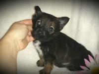 8 week old Chi-zer young puppies are prepared for their