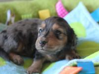 Hi. I have 2 stunning miniature dachshund puppies, long