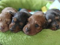 Hi. I have 4 stunning miniature dachshund puppies, long