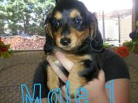 I have three gorgeous miniature dachshund puppies ready