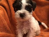 Gorgeous miniature schnauzer pups, expected mature