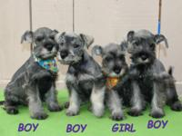 So Gorgeous Miniature Schnauzer Puppies These beautiful