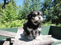 Lovely Pekepoo Puppy. She is 8 weeks old, registered