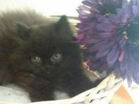 Beautiful Persian - Himalayan kittens ready for their