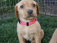 GORGEOUS Pointing AKC YELLOW/RED LAB PUPPIES FOR SALE.