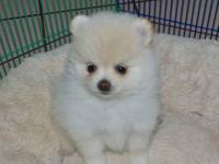 Gorgeous Pom puppies! All () of our puppies are small,